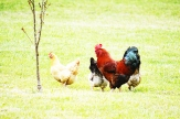 Red Rooster and his Favorites