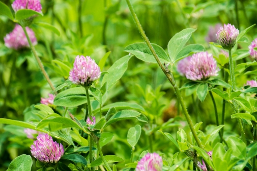 red clover beauty